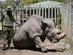 "In this photo taken Wednesday, May 3, 2017, a ranger takes care of Sudan, the world's last male northern white rhino, at the Ol Pejeta Conservancy in Laikipia county in Kenya. Sudan has died after ""age-related complications"" researchers announced Tuesday, saying he ""stole the heart of many with his dignity and strength."" (AP Photo)"