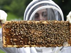In this Aug. 7, 2019 photo, U.S. Army veteran Wendi Zimmermann transfers a frame of bees to a new box, while checking them for disease and food supply at the Veterans Affairs' beehives in Manchester, N.H. Veterans Affairs has begun offering beekeeping at a few facilities including in New Hampshire and Michigan, and researchers are starting to study whether the practice has therapeutic benefits. (AP Photo/Elise Amendola)