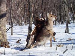 Remote cameras set up to track Siberian tigers in Russia's Far East have caught a golden eagle attack on a sika deer, snapping three photos as the massive bird digs its talons into the distressed animal's back. Golden eagles typically eat small birds or mammals, but they've also been known to target deer. It's rare for a camera to catch such an attack in progress. (AP Photo/The Zoological Society of London)