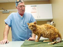"Veteranarian David Calland examines ""Piper"" at the Findlay Animal Hospital Friday morning, Jan 10, 2014, in Findlay, Ohio. Piper spent at least three winter days in a drainpipe before groundskeepers at a school cut through the pipe Friday to free the orange cat, which was muddy, emaciated and hypothermic. (AP Photo/The Courier, Randy Roberts)"