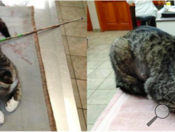 A before-and-after look at a cat, nicknamed Robin Hood by vet staff, that underwent two surgeries after it was found with a 27-inch arrow shot through its belly Aug. 22. The cat is expected to survive. Police in the rural village of Waterville, 40 miles east of Syracuse, are trying to figure out who shot the cat. (AP Photo/James Gilchrist)