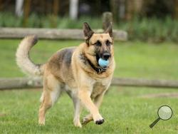 In this April 15, 2014 photo, Barrett Griner IV plays fetch with his five-year-old German shepherd, IV, in Bridgeton, N.J. Cumberland County summoned IV to jury duty. Her owner said he figured out the mistake as soon as the summons arrived at his Bridgeton home, according to KYW-TV in Philadelphia. (AP Photo/South Jersey Times, Cindy Hepner)
