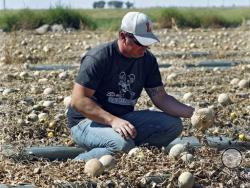 In this Sept. 28, 2011, file photo, co-owner Eric Jensen examines cantaloupe on the Jensen Farms near Holly, Colo. Jensen and Ryan Jensen, 33, brothers who owned and operated Jensen Farms, presented themselves to U.S. Marshals in Denver, Thursday, Sept. 26, 2013, and were taken into custody on federal charges of introducing adulterated food into interstate commerce. As many as 33 people died and more than 140 were hospitalized from Listeria found on Jensen Farms Cantaloupe. (AP Photo/Ed Andrieski, File)