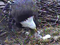 An adult eagle can be seen feeding its new hatchling in this live web camera on the nest in the city's Hays neighborhood on Saturday, March 29, 2014. The camera can be viewed around-the-clock at triblive.com/news/projects/pittsburgheagle.