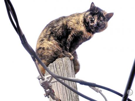 A cat, meowing loudly, perches atop a utility pole along Chestnut Ave. in Bloomsburg on Friday.  Later, a firefighter fell from the back of a fire engine as a crew worked to rescue the feline.