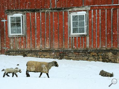A lamb follows a ewe through a farm yard at 252 Frosty Valley Road in Hemlock Township on Tuesday afternoon in an early spring snowfall.