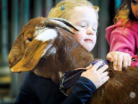 Emily Zimmerman, 5, Danville hugs her goat just before the judging of the goats Thursday at the Bloomsburg Fair.