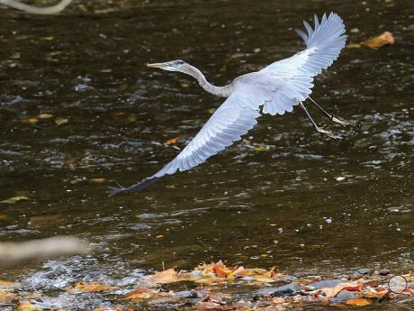 A heron takes flight from the shoreline of the Catawissa Creek in Catawissa Thursday afternoon.