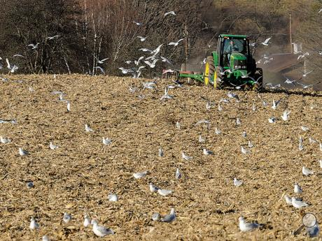 Orangeville farmer Steve Kistler mulches cut corn stalks into the soil Friday afternoon as migrating gulls look for food in the field along Route 487 at the intersection with Stoney Brook Road.