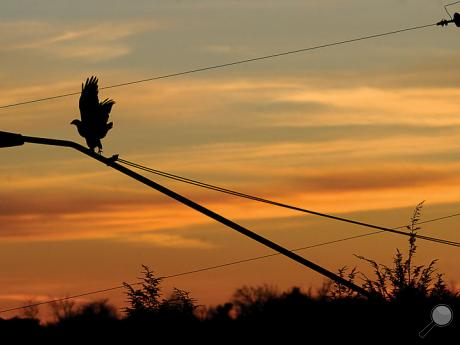 A hawk takes off from a light on a utility pole before flying to the ground along Central Road in Scott Township Tuesday evening.