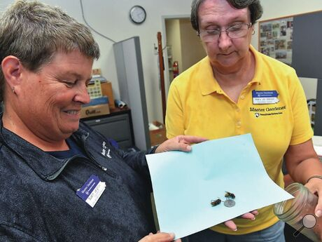 Suann Leighow, left, and Mary Jo Gibson display two European hornets on a piece of paper next to a quarter to show their size. The Master Gardeners made the demonstration Wednesday afternoon at the Penn State Extension office in Scott Township.