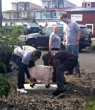 In this photo supplied by the Astoria Police Department, workers place a concrete pig restored for the police department in front of the department building in Astoria, Ore. The pig was dropped off in 1993 by someone whose motive wasn't clear and two decades have taken their toll, washing off the pink paint, pitting the surface and loosening the ears. The pig has been restored. (AP Photo/Astoria Police Department)