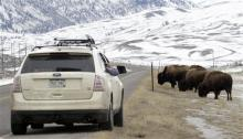 This Feb. 4, 2011 file photo shows bison grazing near the U.S. Route 89 highway just outside of Gardiner, Mont. Hundreds of bison have left the boundaries of Yellowstone National Park this winter in search of food. The annual hunt for wild bison migrating from Yellowstone National Park has hit its highest level in decades. Driven by strong participation from American Indian tribes, roughly 250 of the animals have been killed this season after leaving Yellowstone for winter range at lower elevations in Monta