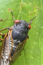 Any day now, cicadas with bulging red eyes will creep out of the ground after 17 years and overrun the East Coast with the awesome power of numbers. Big numbers. Billions. Maybe even a trillion. For a few buggy weeks, residents from North Carolina to Connecticut will be outnumbered by 600 to 1. Maybe more. And the invaders will be loud. A chorus of buzzing male cicadas can rival a jet engine.(AP Photo/University of Connecticut, Chirs Simon)