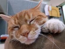 This Nov. 2011, photo shows Daniel, a cat with two extra toes on each of his feet, at the Milwaukee Animal Rescue Center. In 2011, the shelter started asking for $26 donations — $1 for each of the cat's toes — for a new building after finding out rent was doubling. Center owner Amy Rowell says they raised $120,000 and bought a Greenfield building, with Daniel as the mascot. But fundraising has dried up and they are losing too much money in property maintenance and overhead. (AP Photo/Carrie Antlfinger)