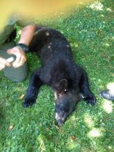 This bear was knocked unconscious by two tranquilizer darts after roaming through Bloomsburg on Wednesday. (Press Enterprise/M.J. Mahon)